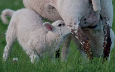 Colostrum Management for lambs