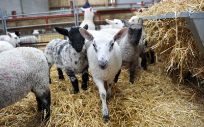 Lamb diseases and mortality