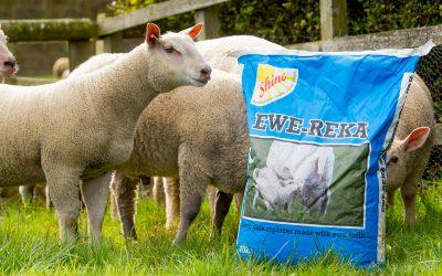 Milk feeding for lambs