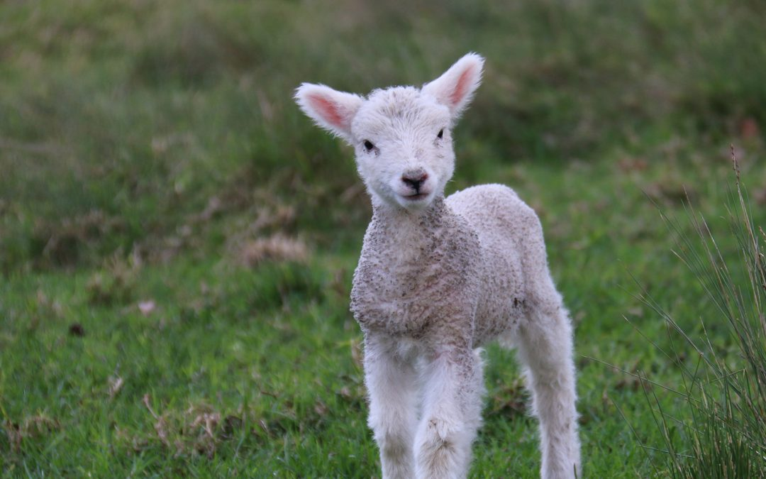 Options for rearing orphan and multiple lambs explored