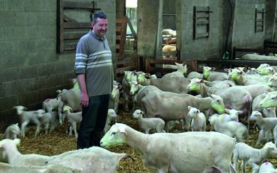 Shine Ewe-reka key to reducing lamb mortalities in French flocks
