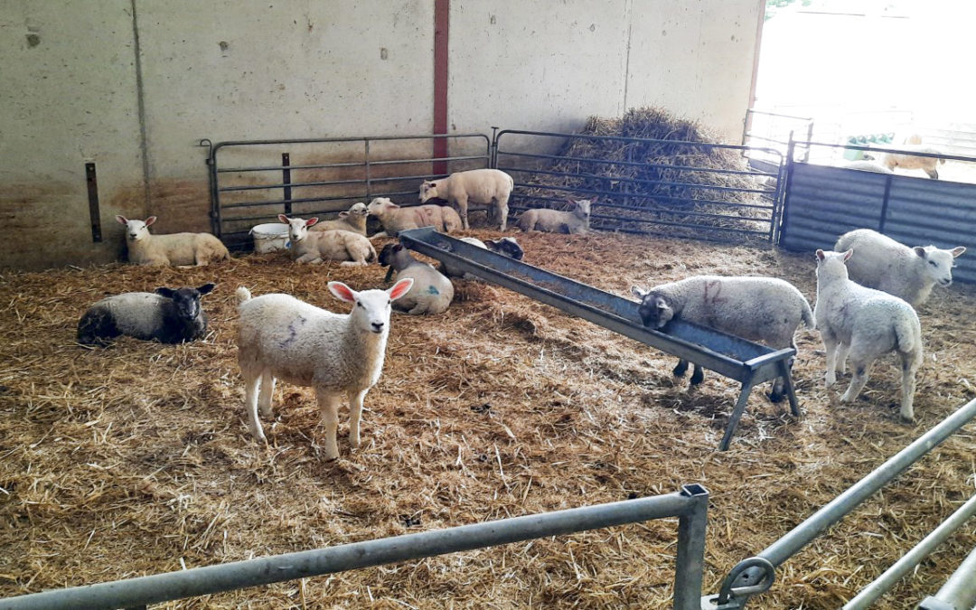 A guide to successfully weaning and finishing pet lambs